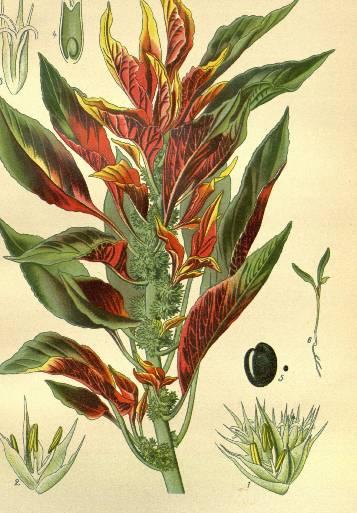 kwiaty-amarantusa